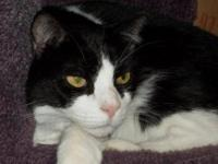 Domestic Short Hair - Black and white - Emery - Large -