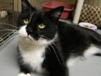 Domestic Short Hair - Black and white - Eugene - Medium