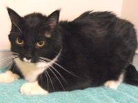 Domestic Short Hair - Black and white - Fagen - Large -