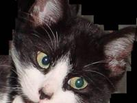 Domestic Short Hair - Black and white - Flopper - Large