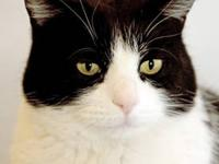Domestic Short Hair - Black and white - Frederick -