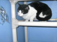 Domestic Short Hair - Black and white - George - Large