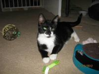 Domestic Short Hair - Black and white - Gino - Small -