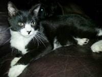 Domestic Short Hair - Black and white - Gizmo - Large -