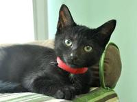 Domestic Short Hair - Black and white - Grace - Medium