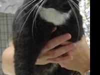 Domestic Short Hair - Black and white - Gracie - Medium