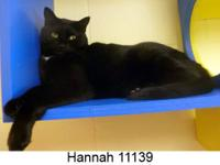Domestic Short Hair - Black and white - Hannah - Medium