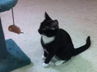 Domestic Short Hair - Black and white - Henry - Large -