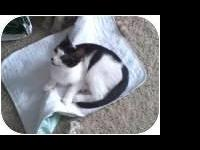 Domestic Short Hair - Black and white - Hermes - Small