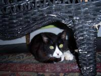 Domestic Short Hair - Black and white - Horton - Large