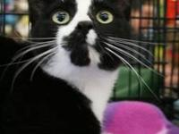 Domestic Short Hair - Black and white - Hugo - Medium -
