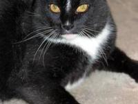 Domestic Short Hair - Black and white - Jack - Large -