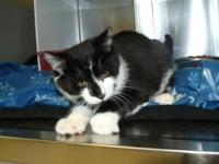 Domestic Short Hair - Black and white - Jax - Medium -