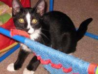 Domestic Short Hair - Black and white - Jenny - Large -