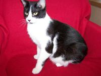 Domestic Short Hair - Black and white - Jerry - Large -
