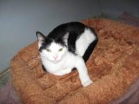 Domestic Short Hair - Black and white - Jerry - Medium