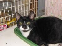 Domestic Short Hair - Black and white - Jerry! - Small