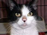 Domestic Short Hair - Black and white - Jessie - Medium