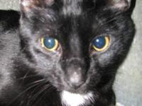 Domestic Short Hair - Black and white - Jet - Large -