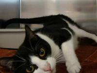 Domestic Short Hair - Black and white - Joey - Large -