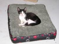 Domestic Short Hair - Black and white - John - Medium -
