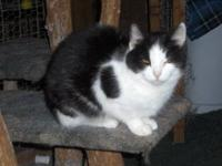 Domestic Short Hair - Black and white - Josie - Medium