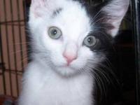 Domestic Short Hair - Black and white - Juno - Small -