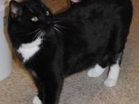 Domestic Short Hair - Black and white - Kaiser - Medium