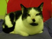 Domestic Short Hair - Black and white - Karl - Medium -
