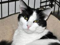 Domestic Short Hair - Black and white - Kathleen -