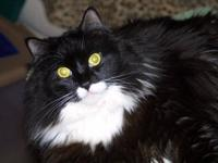 Domestic Short Hair - Black and white - Kayne - Large -