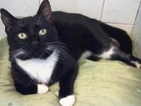 Domestic Short Hair - Black and white - King Arthur -