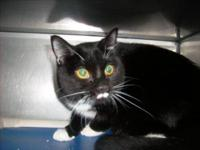 Domestic Short Hair - Black and white - Kitsy - Medium