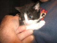 Domestic Short Hair - Black and white - Kittens -