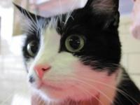 Domestic Short Hair - Black and white - Kona - Medium -