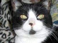 Domestic Short Hair - Black and white - Lacey (loves