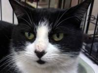 Domestic Short Hair - Black and white - Leah - Medium -