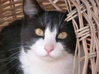 Domestic Short Hair - Black and white - Lenora - Medium