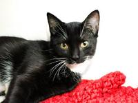 Domestic Short Hair - Black and white - Lil Bit -
