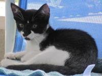 Domestic Short Hair - Black and white - Lois - Medium -