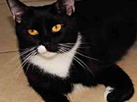 Domestic Short Hair - Black and white - Lovey - Small -