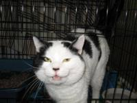 Domestic Short Hair - Black and white - Marilyn -