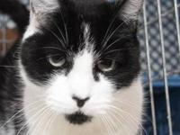 Domestic Short Hair - Black and white - Marrie - Medium