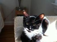 Domestic Short Hair - Black and white - Mickey - Medium
