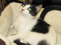 Domestic Short Hair - Black and white - Mike - Medium -