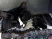 Domestic Short Hair - Black and white - Mindy - Large -