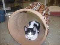 Domestic Short Hair - Black and white - Mindy - Small -