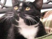 Domestic Short Hair - Black and white - Morgan - Large