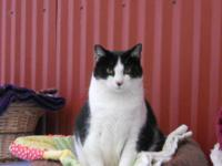 Domestic Short Hair - Black and white - Mosley (big