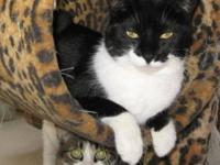 Domestic Short Hair - Black and white - Mr. Bells -